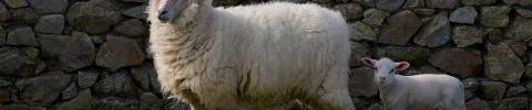 Moutons - Crédit photo Bernard Pronost